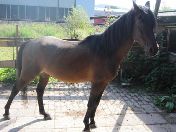 28 - (Pferde, Pony, Rasse)