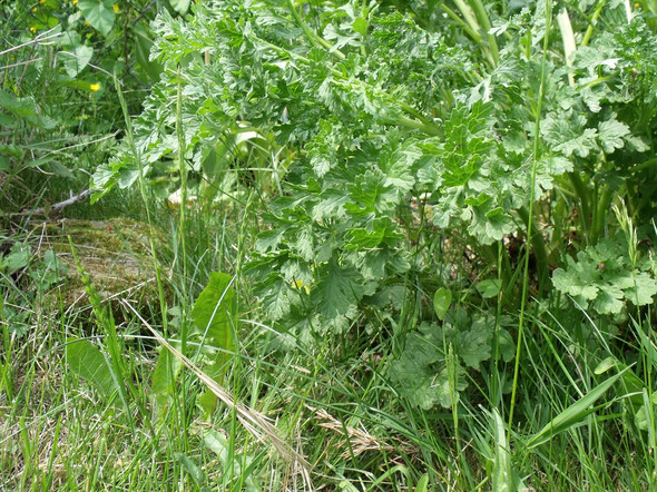 Ambrosia - (Garten, Allergie, giftig)