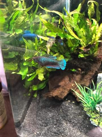 2 unterschiedliche Kampffisch Arten in einem Becken?