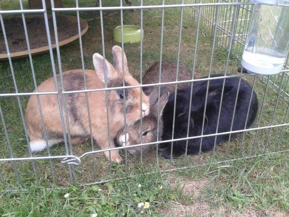 von links: Strolch - Struppi - Lotta - (Kaninchen, Kampf, Vergesellschaften)