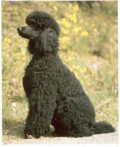 Pudel Schwarz - (Hund, Pudel)