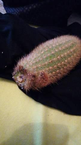 Abgebrochenen Kaktus retten?