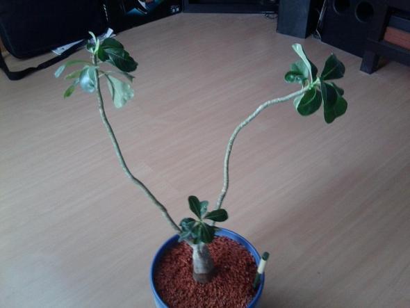 wüstenrose - (Pflanzen, Zimmerpflanzen, grünerdaumen)