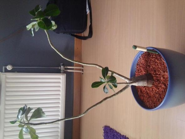 wüstenrose 2 - (Pflanzen, Zimmerpflanzen, grünerdaumen)