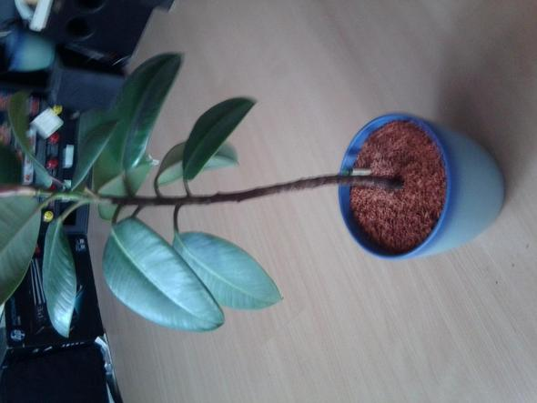 andere pflanze - (Pflanzen, Zimmerpflanzen, grünerdaumen)