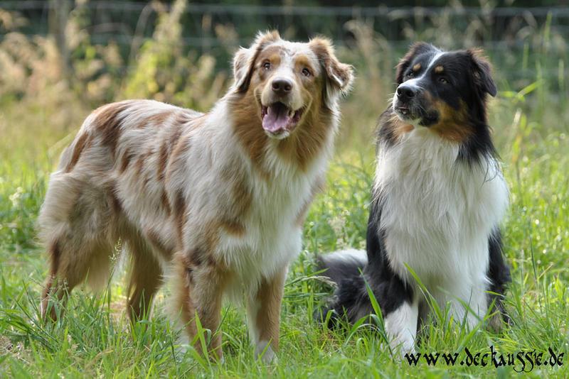 196 Hnlich Hundrasse Wie Quot Australian Shepherd Quot Tiere Hund