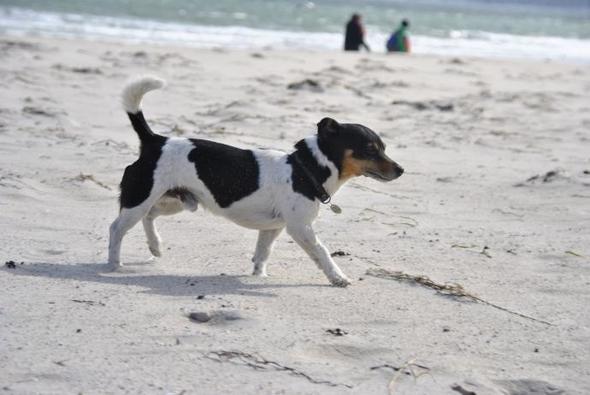 Ähnliche Hunderassen wie Jack Russel Terrier?