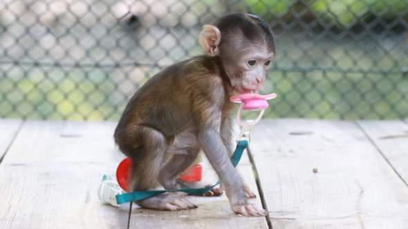 Affe als Haustier?