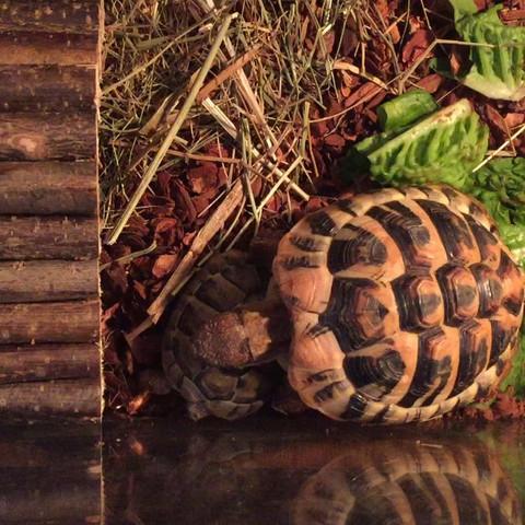 Aggressive Schildkröte oder Paarung?