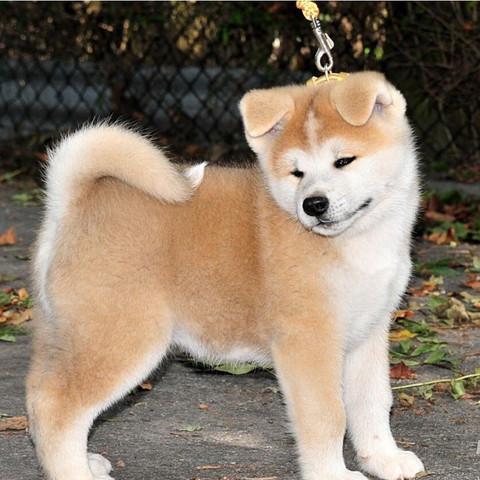 Akita  - (Tiere, Hund, Rasse)