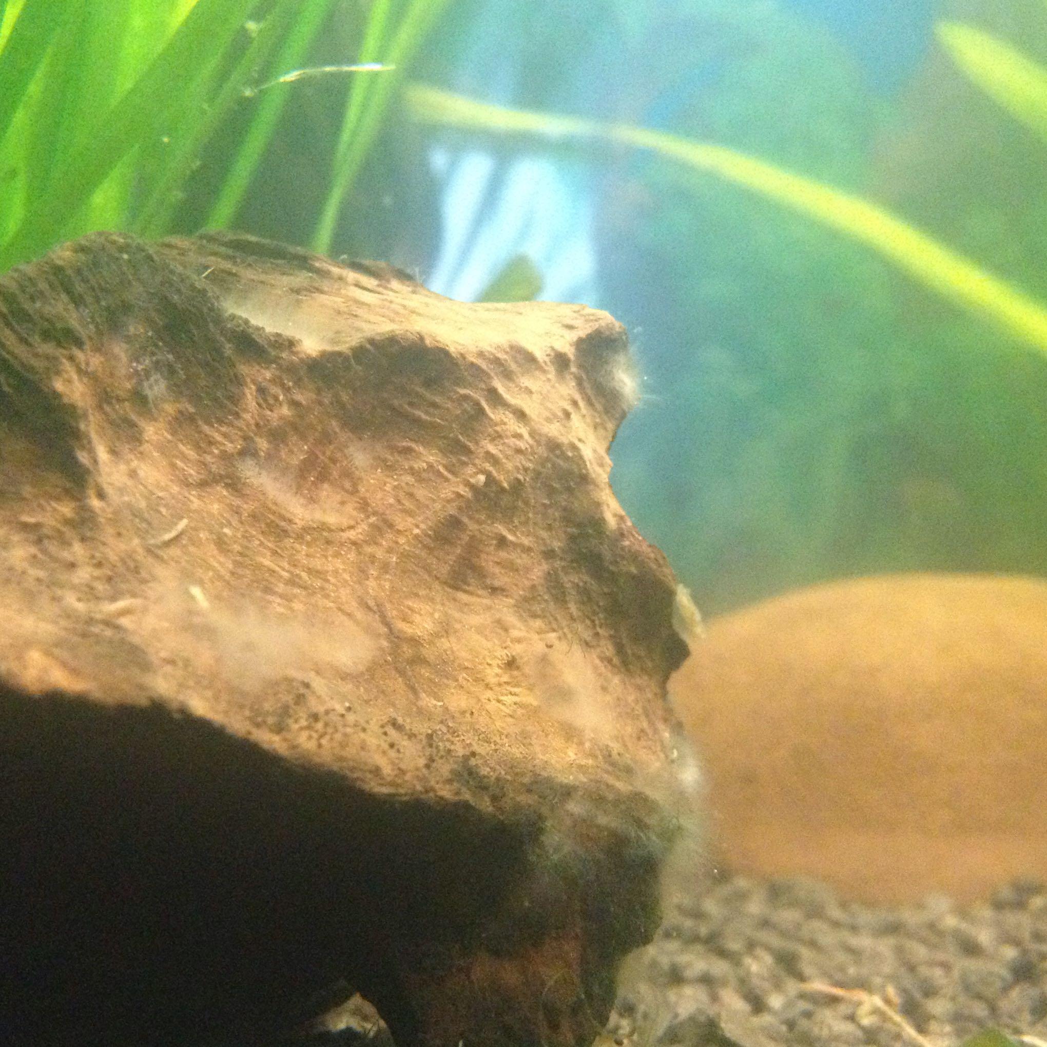 algen oder schimmel fische aquarium aquaristik. Black Bedroom Furniture Sets. Home Design Ideas