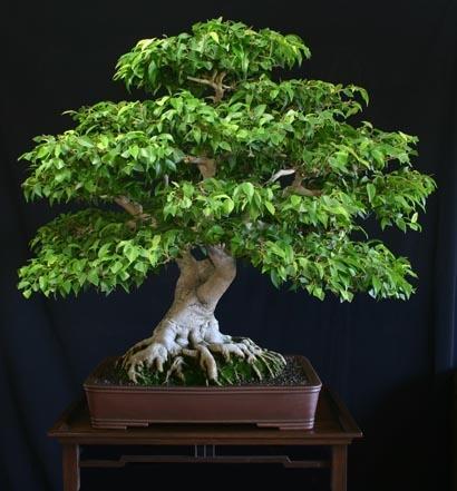 - (Allergie, Bonsai, Ficus benjamini)