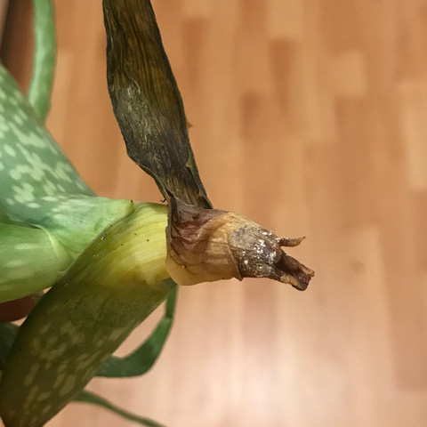 Abgefallenes teil  - (Pflanzen, Aloe-Vera, Plants)