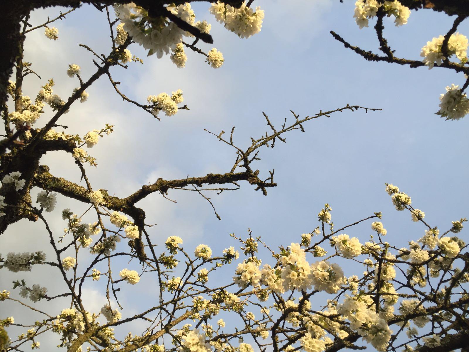 alter kirschbaum hat bei en paar stellen keine bl ten warum garten baum. Black Bedroom Furniture Sets. Home Design Ideas