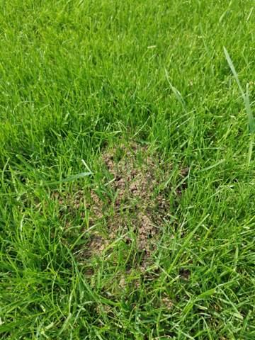 Ameisen im Rasen wie loswerden?