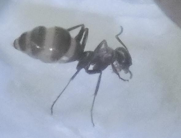 Ameise - (Insekten, Ameisen)