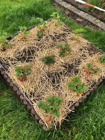 Ameisenplage! Sie fressen meine Erdbeeren, was tun? Habt ihr Tipps?