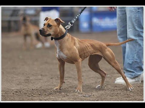 the american pitbull terrier - (Tiere, Hund, Menschen)