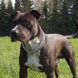 American Staffordshire Terrier Kaufen Hund Welpen Zucht
