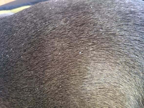 Schuppiges Fell Rückenpartie - (Trockenfutter, amstaff, american staffordshire)