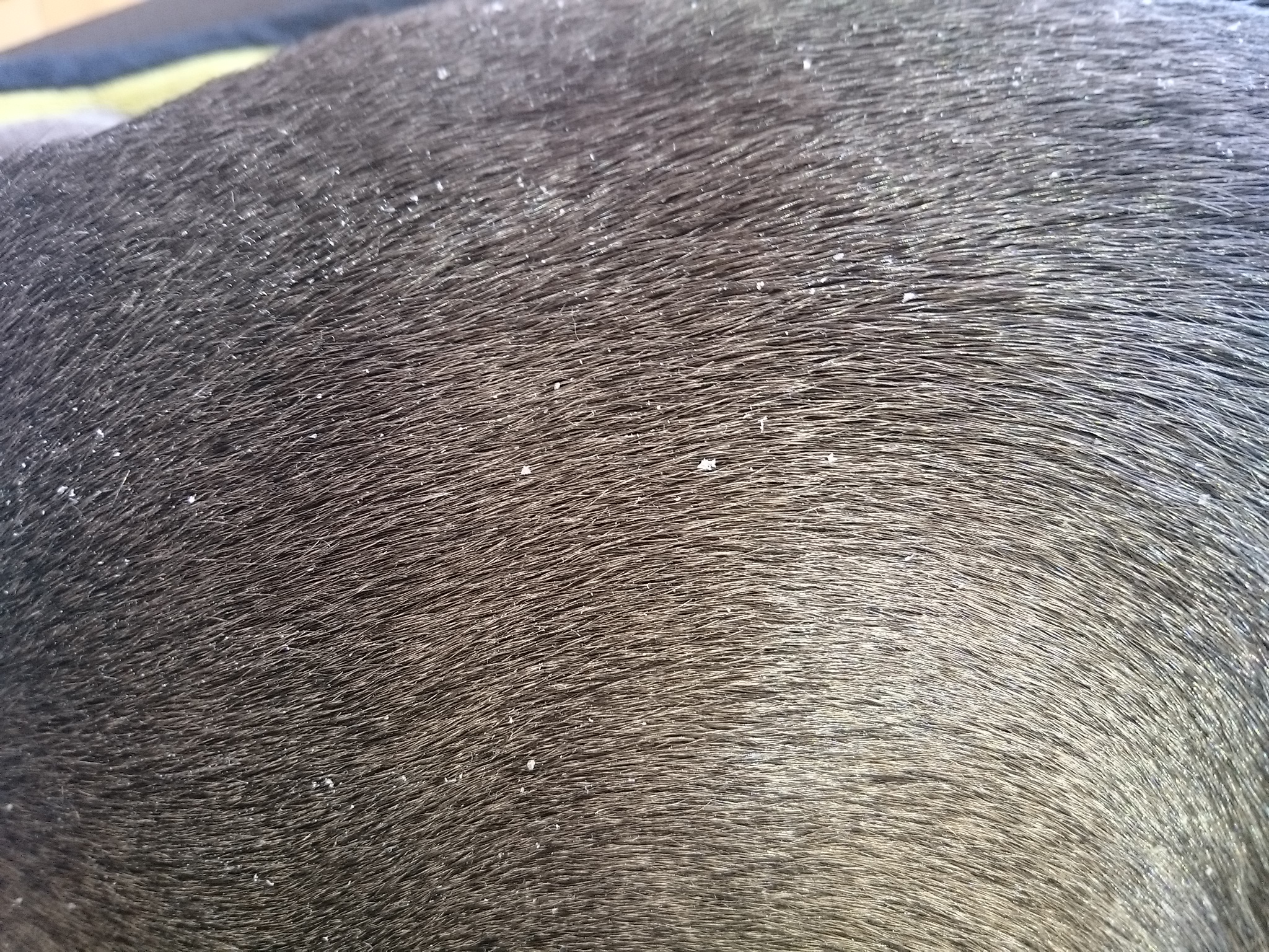 amstaff american staffordshire terrier blueline stark. Black Bedroom Furniture Sets. Home Design Ideas