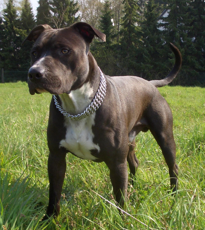 amstaffs verboten in nrw hund pitbull listenhunde. Black Bedroom Furniture Sets. Home Design Ideas