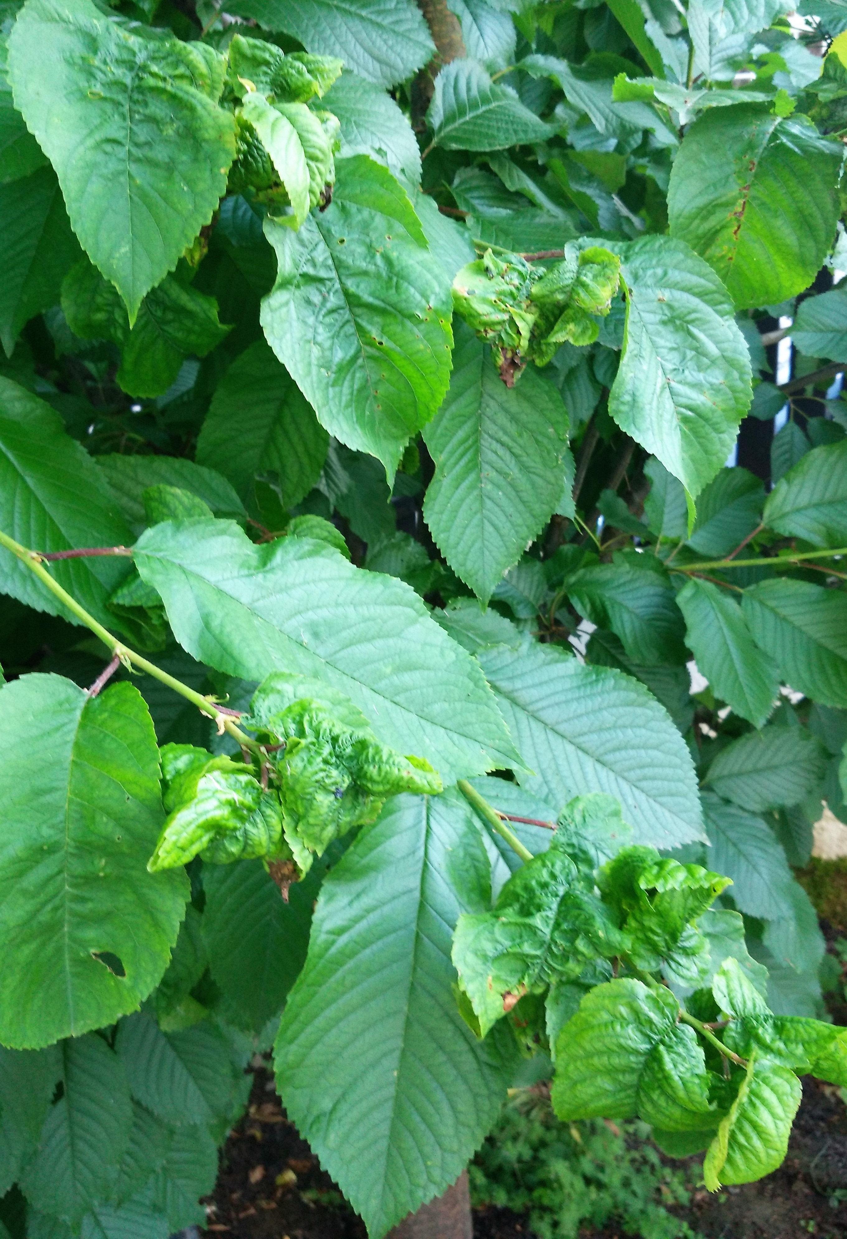 an Baumkundler: wie heile ich meinen kranken Kirschbaum