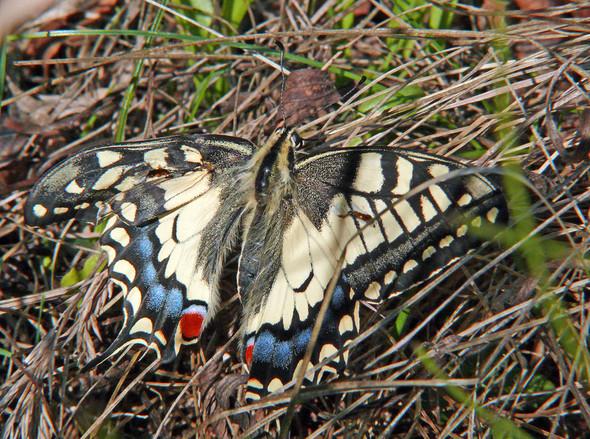 An die Entomologen hier: Missbildung bei einem Schwalbenschwanz?