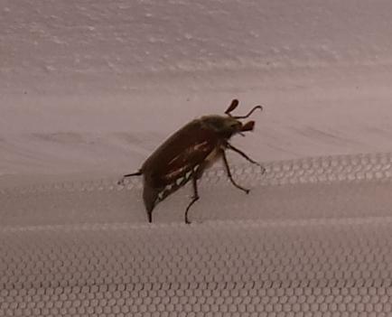 an die insekten kenner da drau en erkennt ihr dieses insekt kaefer. Black Bedroom Furniture Sets. Home Design Ideas