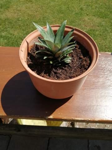 Ananas einpflanzen, wir das was?