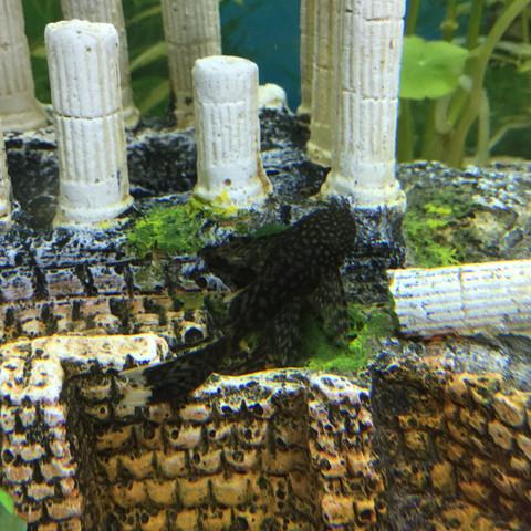 Antennenwels 2 - (Fische, Aquarium, Aquaristik)