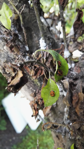Käfer1 - (Garten, Baum, Schädlinge)