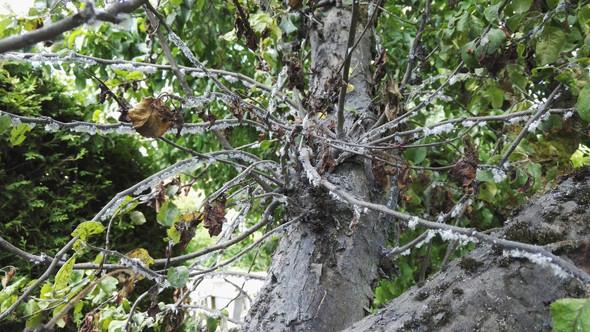 Flaum - (Garten, Baum, Schädlinge)