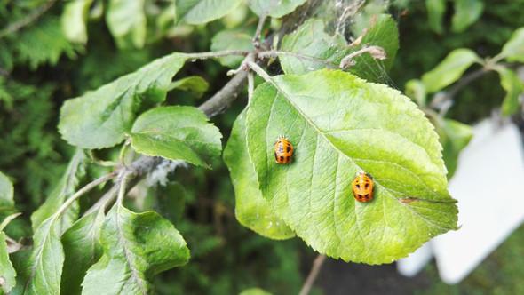 Käfer2 - (Garten, Baum, Schädlinge)