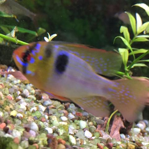 Fisch Bild  - (Fische, Aquaristik, Geschlecht)