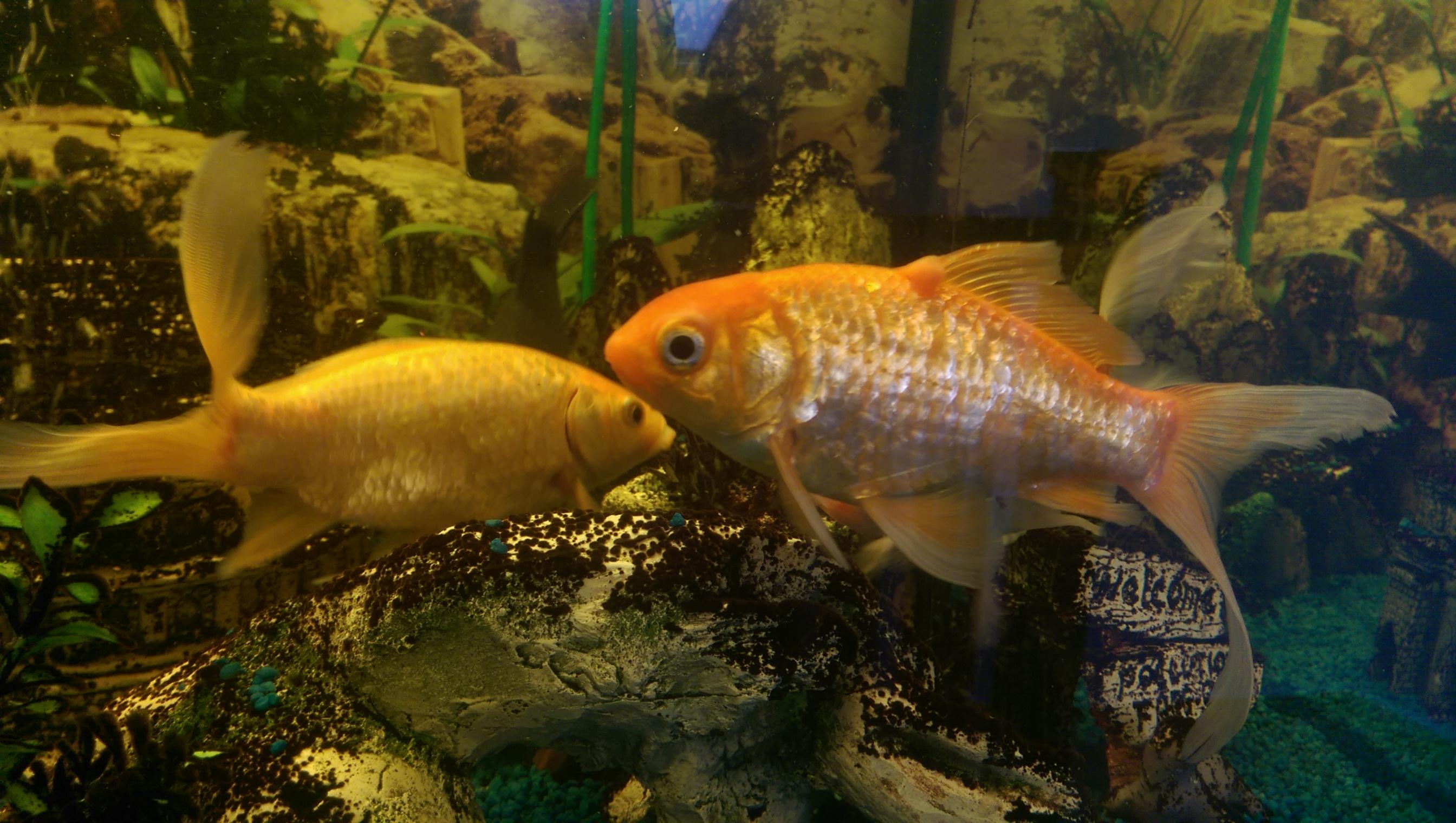 aquarium goldfisch karpfenpocken oder andere krankheiten. Black Bedroom Furniture Sets. Home Design Ideas