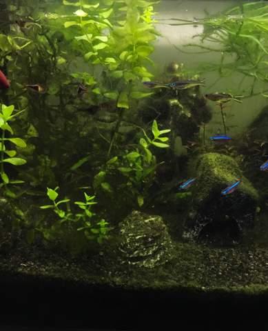 Aquarium immer Algen?