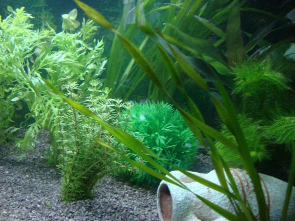 Bild 2 - (Aquarium, Aquaristik, wasserpflanzen)
