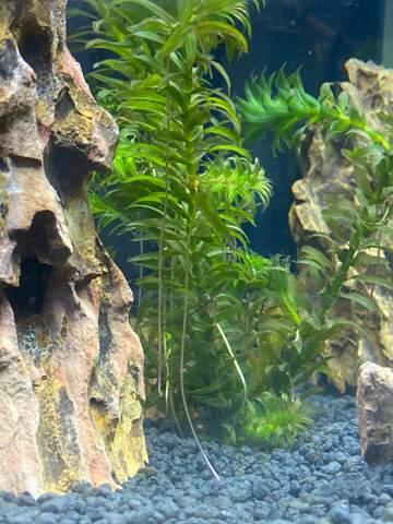 Aquarium Pflanzen sterben?
