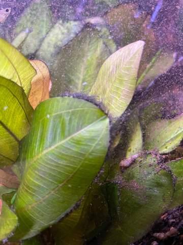 Aquarium schwarzer Belag auf Pflanzen?