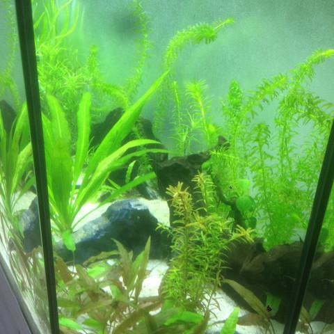 Rechts - (Fische, Aquarium, Skalare)