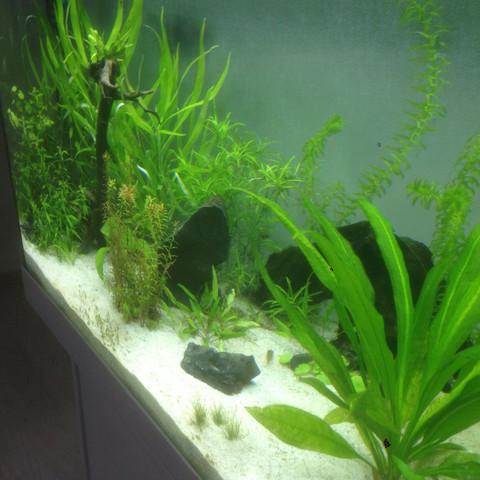 Mitte-Rechts - (Fische, Aquarium, Skalare)