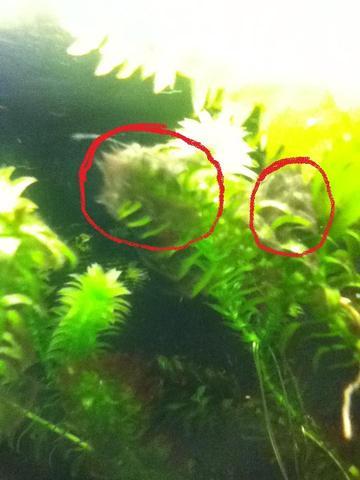 aquariumpflanzen dreckig algen im becken trotz d nger. Black Bedroom Furniture Sets. Home Design Ideas