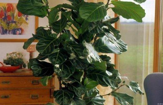 arecapalme und gummibaum pflege pflanzenpflege hauspflanzen. Black Bedroom Furniture Sets. Home Design Ideas