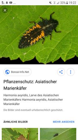 Asiatische maeien k fee larven invasion in meinem zimmer was tun tiere insekten - Was tun gegen insekten im zimmer ...