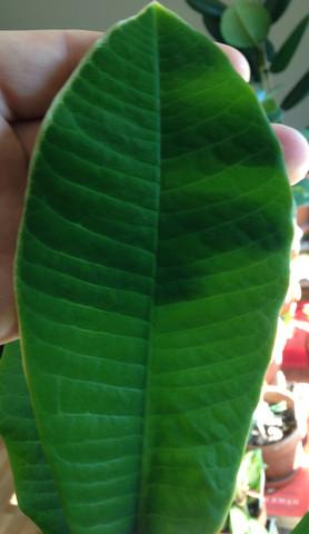 Das neuste Blatt meiner grossen E. leuconeura - (Pflanzen, Zimmerpflanzen, Euphorbia)