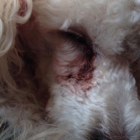 Hier ein Bild, habe Ihm die Augen eine Woche nicht abgewischt..  - (Hund, Augen, weiß)