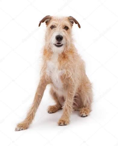 Aus welchen Hunderassen setzt sich dieser Mischling zusammen?