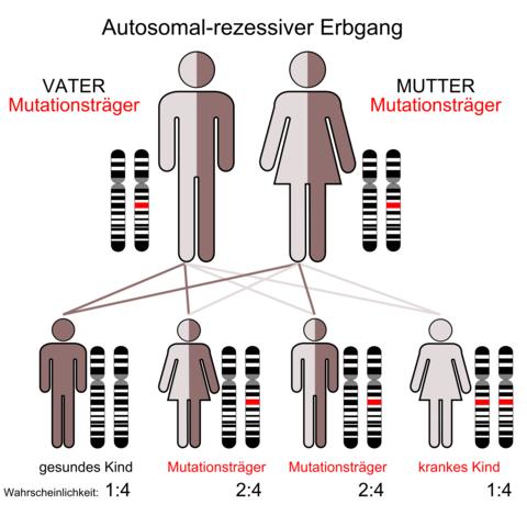 Das Bild zu autosomal rezessiv - (Schule, Biologie, Genetik)