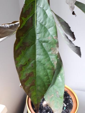 Bild eines Blattes - (Avocado, braune Blätter)